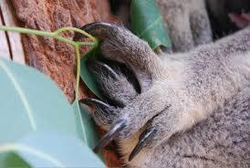 griffe koala.jpg
